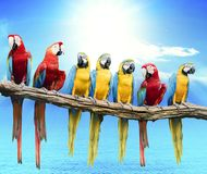 Flock of red and blue yellow macaw purching on dry tree branch i. Solated white background royalty free stock photo