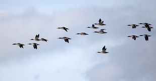 Flock of red-breasted mergansers flying against a cloudy sky Stock Photos