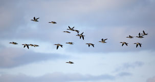 Flock of red-breasted mergansers flying against a cloudy sky Royalty Free Stock Images