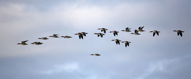 Flock of red-breasted mergansers flying against a cloudy sky Royalty Free Stock Image