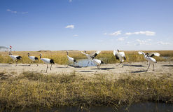 Flock of red-crowned cranes Royalty Free Stock Photo