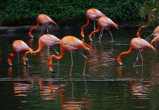 A flock of red flamingos on the pond,with green and dark background stock image