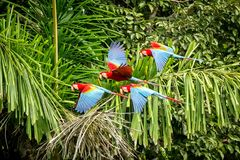 Flock of red parrot in flight. Macaw flying, green vegetation in background. Red and green Macaw in tropical forest, Peru,Wildlife. Flock of red parrot in flight stock image