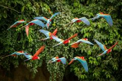 Flock of red parrot in flight. Macaw flying, green vegetation in background. Red and green Macaw in tropical forest, Peru,Wildlife. Flock of red parrot in flight stock images