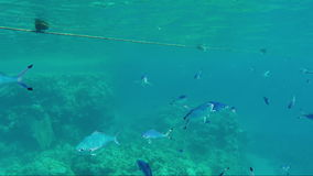A flock of Red Sea Fusilier fish floating near the surface in the rays of the sun stock video