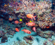 A flock of red soldier fish, Maldives. A flock of red shoulderbar soldierfish Myripristis kuntee hiding under the reef, Maldives royalty free stock images