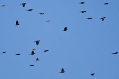 Red-Winged Blackbirds Flying in Blue Sky Royalty Free Stock Photo
