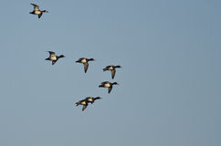 Flock of Ring-Necked Ducks Flying in a Blue Sky Royalty Free Stock Image
