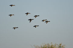 Flock of Ring-Necked Ducks Flying in a Blue Sky Stock Photo