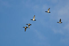 Flock of Ring-Necked Ducks Flying in a Blue Sky Royalty Free Stock Photos