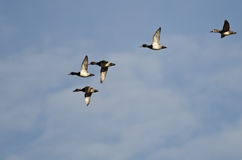 Flock of Ring-Necked Ducks Flying in a Blue Sky Stock Image
