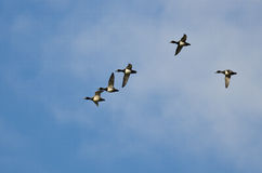 Flock of Ring-Necked Ducks Flying in a Blue Sky Stock Photography