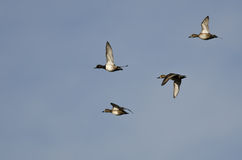 Flock of Ring-Necked Ducks Flying in a Blue Sky Royalty Free Stock Images