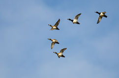 Flock of Ring-Necked Ducks Flying in a Blue Sky Royalty Free Stock Photography