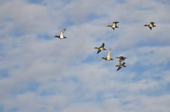 Flock of Ring-Necked Ducks Flying in a Cloudy Sky Stock Images