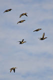 Flock of Ring-Necked Ducks Flying in a Cloudy Sky Royalty Free Stock Photography
