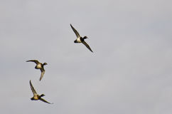 Flock of Ring-Necked Ducks Flying in a Cloudy Sky Royalty Free Stock Image