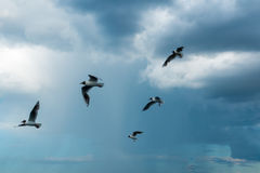 A flock of river gulls flies above the surface of the lake`s water against the background of the sky. A flock of river gulls flies over the surface of the lake`s Royalty Free Stock Image