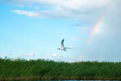 A flock of river gulls flies above the surface of the lake`s water against the background of the sky and reeds. A flock of river gulls flies over the surface of Stock Photo