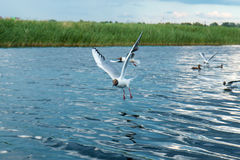 A flock of river gulls flies above the surface of the lake`s water against the background of the sky and reeds. A flock of river gulls flies over the surface of Royalty Free Stock Photography