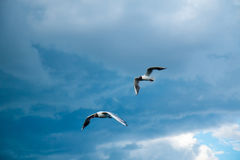 A flock of river gulls flies above the surface of the lake`s water against the background of the sky and reeds Royalty Free Stock Images
