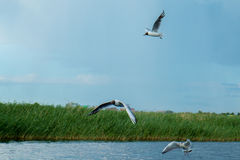 A flock of river gulls flies above the surface of the lake`s water against the background of the sky and reeds Royalty Free Stock Photo