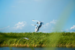 A flock of river gulls flies above the surface of the lake`s water against the background of the sky and reeds. A flock of river gulls flies over the surface of Royalty Free Stock Images