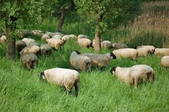 Flock of robust sheep Royalty Free Stock Image