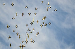 Flock of Rock Pigeons Flying in a Blue Sky. Flock of Rock Pigeons Flying in a Cloudy Blue Sky Stock Photography