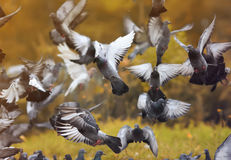 Flock of rock pigeons flying toward spread wings Stock Images
