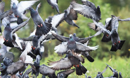 Flock of rock pigeons flying toward spread wings Royalty Free Stock Photography