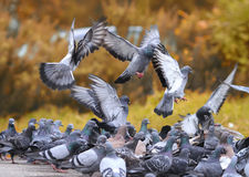 Flock of rock pigeons flying toward spread wings Royalty Free Stock Image