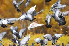 Flock of rock pigeons flying toward spread wings. Flock of rock pigeons flying toward spread their wings Royalty Free Stock Photo