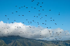 Flock of rook flying over La Palma, Canary Islands, Spain Royalty Free Stock Photos