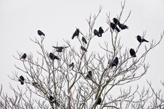 A flock of rooks sitting on a tree in winter Stock Image