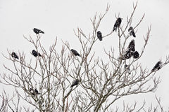 A flock of rooks sitting on a tree in winter Stock Photo