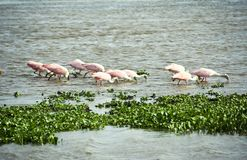 Flock of Roseate Spoonbills trawling the water for Royalty Free Stock Photos
