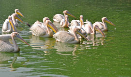 Flock of rosy pelicans Stock Photos