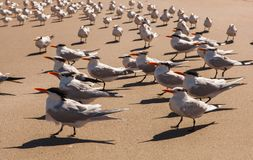 Flock of royal terns on Florida beach. Flock of royal terns in bright sunlight on Florida beach, Melbourne Beach Royalty Free Stock Photography