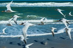 Flock of royal terns flying above a beach. Flock of royal terns in bright sunlight flying above a  Florida beach with the ocean in the background, Melbourne Royalty Free Stock Images