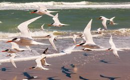 Flock of royal terns flying above a beach. Flock of royal terns in bright sunlight flying above a  Florida beach with the ocean in the background, Melbourne Stock Photo