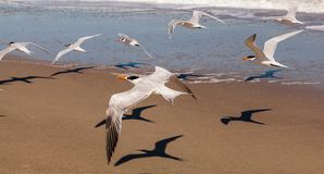 Flock of royal terns flying above a Florida beach. Flock of royal terns casting shadows flying above a Florida beach in bright sunlight, Melbourne Beach Royalty Free Stock Images