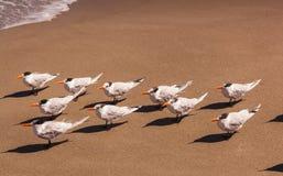 Flock of royal terns on a Florida beach. Flock of royal terns with shadows on a Florida beach in bright sunlight, Melbourne Beach Royalty Free Stock Photo
