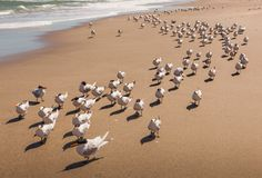 Flock of royal terns walking on a Florida beach forming a long line. In bright sunlight, Melbourne Beach Royalty Free Stock Photography
