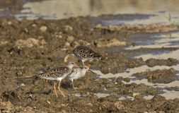 A Flock of Ruff (Philomachus pugnax). A flock of ruff is hunting on a pond Stock Photos