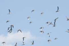 Flock of ruffs. (philomachus pugnax Royalty Free Stock Photography