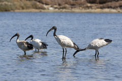 Flock of Sacred Ibis Stock Photography