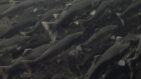 Flock of salmon fish swim to spawn underwater in ocean of Alaska.