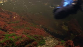 Flock of salmon fish swim to spawn underwater in ocean of Alaska. stock footage