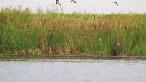 Flock of sand martins fly over the lake and drink water stock footage